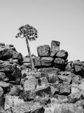 Quiver tree in namibian Giant's Playground Royalty Free Stock Image