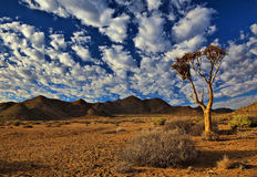 Quiver tree - Richtersveld. Quiver tree and beautifull cloudy sky - Richtersveld National Park Royalty Free Stock Photography