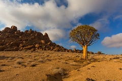 Quiver Tree in Richtersveld Royalty Free Stock Photos