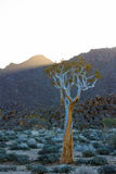 Quiver Tree in Richtersveld Royalty Free Stock Photo