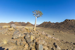 Quiver Tree and Rocks Royalty Free Stock Photos