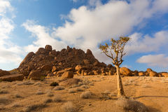 Quiver Tree and Rocks Stock Image