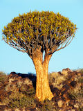 Quiver Tree on a Rocky Hill, outside Keetmanshoop, Namibia Royalty Free Stock Images