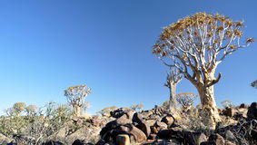 Quiver Tree and Rocky Landscape Royalty Free Stock Image