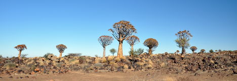 Quiver Tree and Rocky Landscape Stock Photography