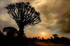 Quiver tree silhouette Stock Image