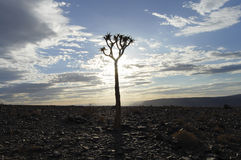 Quiver Tree Silhouette - Namibia Stock Image