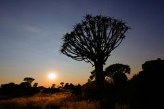 Quiver tree silhouette, Namibia Stock Image