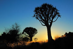 Quiver tree silhouette Stock Photography