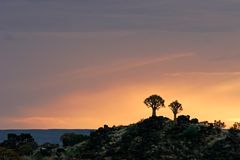 Quiver tree silhouettes Stock Images