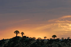 Quiver tree silhouettes, Namibia Royalty Free Stock Photography