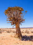 Quiver Tree. A Quiver Tree in Southern African savanna Royalty Free Stock Photo
