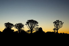 Quiver Tree sunset Royalty Free Stock Photos