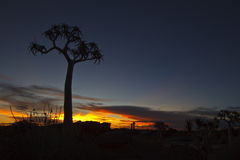 Quiver Tree at Sunset Stock Photos