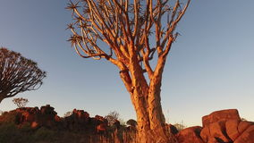 Quiver tree at sunset. Close-up, tilting view of large a quiver tree (Aloe dichotoma) at sunset, Namibia, southern Africa stock footage