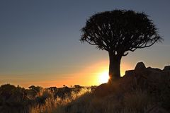 Quiver Tree Sunset Royalty Free Stock Photography
