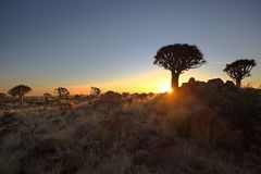 Quiver Tree Sunset Royalty Free Stock Photo