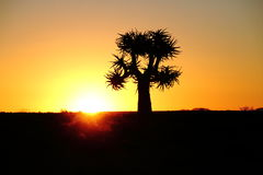 A quiver tree at sunset in Namaqualand Northern Cape Province South Africa Stock Photography