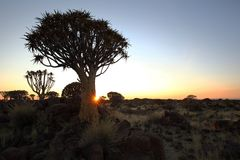 Quiver Tree at Sunset Stock Photography