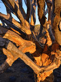 Quiver Tree trunk Namibia Royalty Free Stock Images