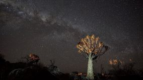 Quiver tree under the stars. Royalty Free Stock Photography