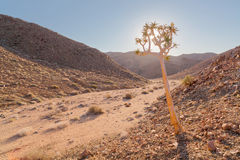 Quiver Tree in the valley Royalty Free Stock Image