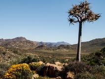 Quiver tree Stock Image