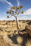 Quiver tree. In wilderness area, Karas Region, Namibia, Southern Africa royalty free stock image