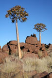 Quiver trees. Quiver treeS taken in the Namib desert in Namibia Stock Photo