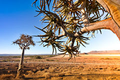 Quiver trees Stock Photos