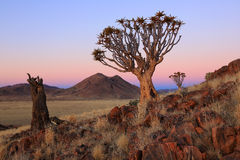 Namibia - Quiver Trees. Different stadiums of Quiver Trees in the Farm Koiimasis in Namibia. The picture was taken moments after the sunset Royalty Free Stock Photos