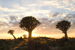 Quiver trees 4. Quiver tree forest in Namibia Royalty Free Stock Photo