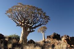 Quiver Trees. (Aloe dichotoma) in Namibia Stock Photos
