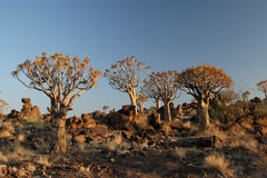Quiver trees. In the desert in Namibia royalty free stock photography