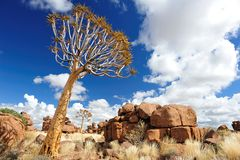 Quiver Trees (Aloe dichotoma). In Giants Playground near Keetmanshoop (Namibia Royalty Free Stock Images