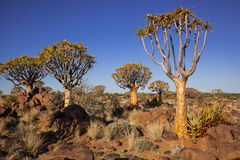 4 quiver trees. Group of four quiver trees in a rocky semi desert under a blue sky Royalty Free Stock Photography