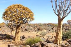 Quiver trees Kokerboom Aloe dichotoma blue sky, Namibia. Quiver tree forest and panorama landscape in Keetmanshoop, Namibia. Also called Kokerboom or Aloe Stock Photo