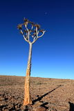 Quiver trees in Namibia Royalty Free Stock Images