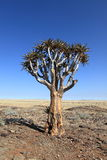 Quiver trees in Namibia Stock Image