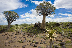 Quiver trees in Namibia Royalty Free Stock Photography