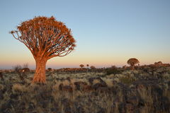 Quiver trees. Near Keetmanshoop in southern Namibia Stock Photos