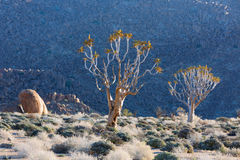 Quiver Trees in Richtersveld Stock Photography