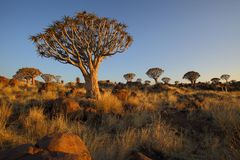 Quiver Trees and Rocks in Quiver Tree Forest Royalty Free Stock Photography