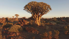 Quiver trees at sunset - Namibia stock footage