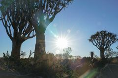 Quiver van Namibië Boombos royalty-vrije stock afbeelding