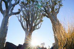 Quiver van Namibië Boombos stock afbeelding