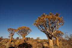 Quivertree Forest. The quivertree forest neer Keetmanshoop in Namibia stock photography