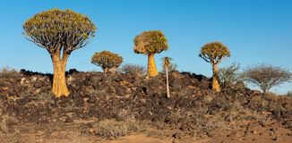 Namibia Quivertree Forest royalty free stock photo