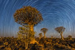The Quivertree Forest. The quivertrees with star trails in Quivertree Forest Rest Camp, Keetmanshoop of Namibia royalty free stock image