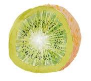 Quivi suculento cortado no backgroung branco - vector a pintura da aquarela Imagem de Stock Royalty Free